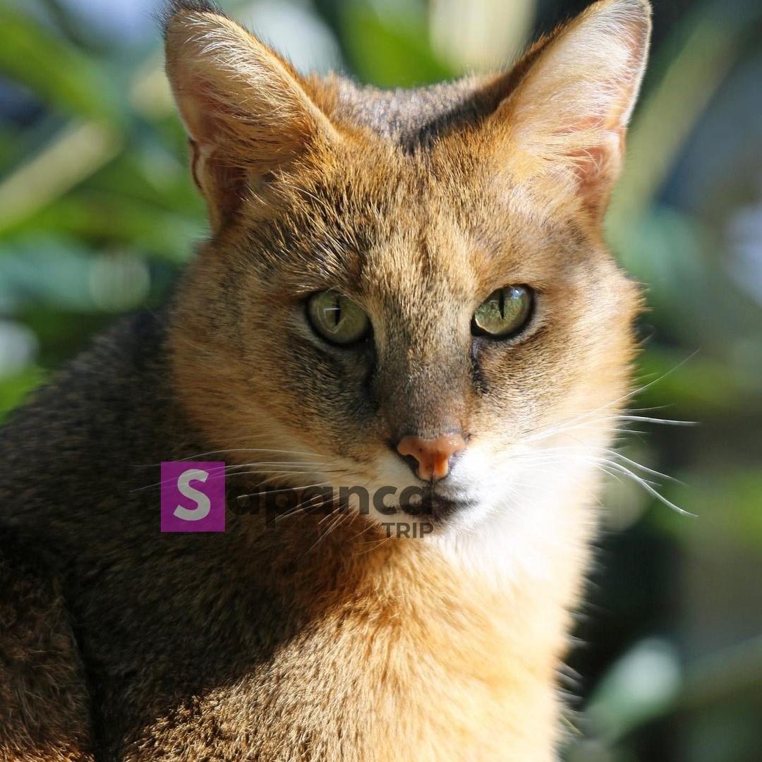 قطط برية في داريجا