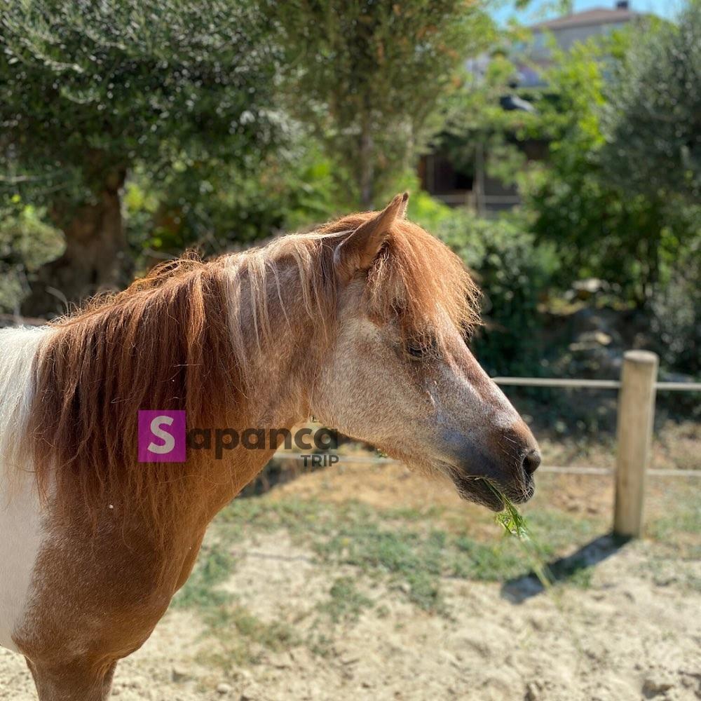 حصان داريجا