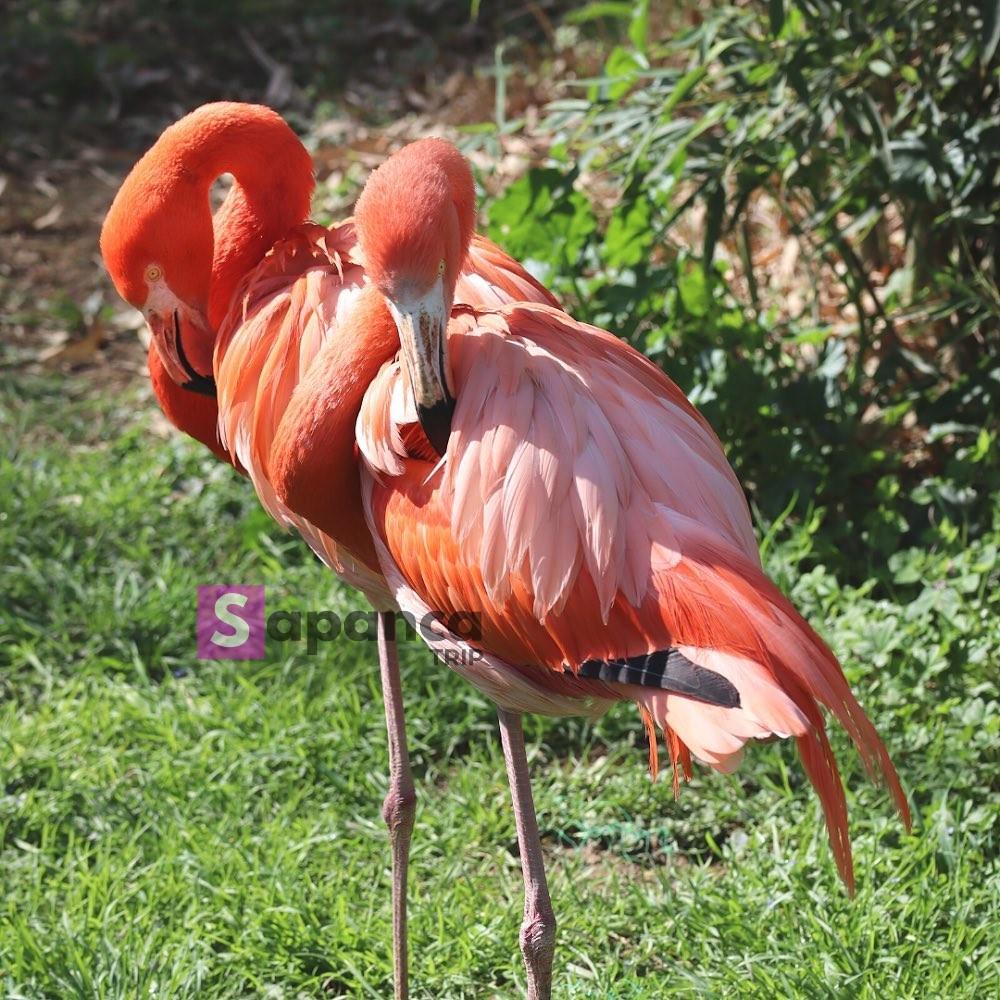 طيور داريجا